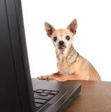 Chihuahua, die das Internet auf einem Laptop surfen Lizenzfreie Stockfotos