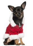 Chihuahua die de uitrusting van de Kerstman, 10 maanden oud draagt Royalty-vrije Stock Fotografie