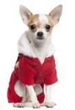 Chihuahua die de uitrusting van de Kerstman, 2 en een half draagt Royalty-vrije Stock Foto's