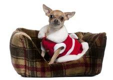 Chihuahua die de uitrusting van de Kerstman, 25 maanden oud draagt Stock Afbeelding