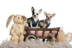 Chihuahua, die Denim tragen Stockbilder