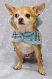 Chihuahua die een blauwe laag draagt Stock Foto