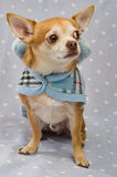 Chihuahua die een blauwe laag draagt Stock Afbeelding