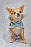 Chihuahua die een blauwe laag draagt Stock Foto's