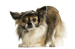 Chihuahua die een GLB, geïsoleerde stokvoering dragen, stock fotografie