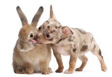 Chihuahua die een konijn likt Royalty-vrije Stock Afbeelding