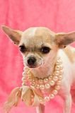 Chihuahua die een parelhalsband draagt Royalty-vrije Stock Fotografie