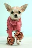 Chihuahua die een roze sjaal draagt Royalty-vrije Stock Foto's