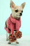 Chihuahua die een roze sjaal draagt Royalty-vrije Stock Afbeeldingen