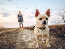 Chihuahua, die einen Kragen tragen Stockbild