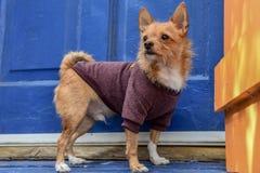 Chihuahua, die einen Pullover tragen stockfoto