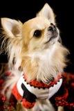Chihuahua, die für die Kamera aufwerfen Stockbild
