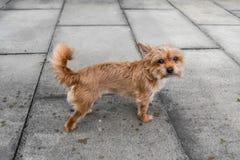 Chihuahua, die ihren Inhaber betrachten Stockbilder