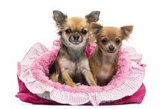 Chihuahua, die im rosafarbenen Hundebett sitzen stockfotos