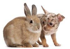 Chihuahua die met een konijn in wisselwerking staat Stock Fotografie