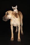 Chihuahua die op Great dane berijden Stock Afbeeldingen
