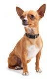 Chihuahua die op wit wordt geïsoleerde Royalty-vrije Stock Afbeelding