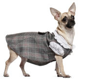 Chihuahua die plaidkleding, 1 éénjarige draagt Royalty-vrije Stock Foto's