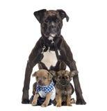 Chihuahua, die vor einem Boxer sitzen Stockbild