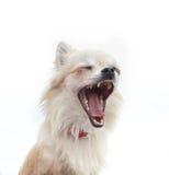 Chihuahua, die vor weißem Hintergrund gähnen Stockbilder