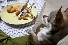 Chihuahua die zich op achterste benen bevindt om voedsel te bekijken stock foto