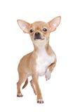 Chihuahua diminuta Foto de Stock