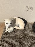 Chihuahua. A disabled rescue dog curled up in the sun Royalty Free Stock Photo