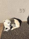 Chihuahua. A disabled rescue dog curled up in the sun Stock Images