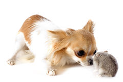 Chihuahua and Djungarian hamster Stock Photo