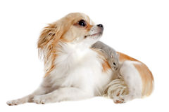Chihuahua and Djungarian hamster Royalty Free Stock Photography
