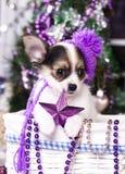 Chihuahua do cachorrinho imagens de stock
