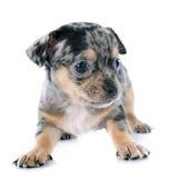 Chihuahua do cachorrinho Foto de Stock Royalty Free