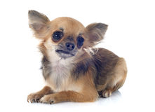 Chihuahua do cachorrinho Fotografia de Stock Royalty Free