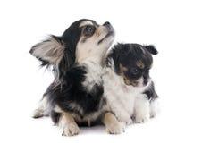 Chihuahua do cachorrinho e do adulto Imagens de Stock