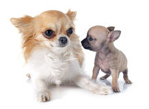 Chihuahua do cachorrinho e do adulto Foto de Stock Royalty Free