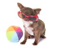 Chihuahua do cachorrinho no estúdio Imagem de Stock