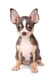 Chihuahua do filhote de cachorro Imagem de Stock Royalty Free