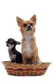Chihuahua do filhote de cachorro e do adulto Foto de Stock Royalty Free