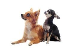 Chihuahua do filhote de cachorro e do adulto Imagem de Stock