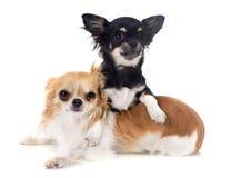 Chihuahua do filhote de cachorro e do adulto Imagens de Stock Royalty Free