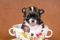 Chihuahua do filhote de cachorro no estúdio foto de stock royalty free