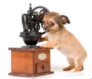 A chihuahua do filhote de cachorro no estúdio foto de stock royalty free