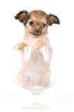 A chihuahua do filhote de cachorro no estúdio fotografia de stock royalty free