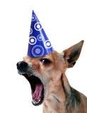 Chihuahua do partido Imagem de Stock Royalty Free