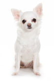 Chihuahua dog Stock Image