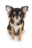 Chihuahua dog Royalty Free Stock Photo