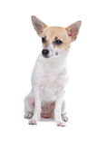 Chihuahua dog. Isolated on a white background Royalty Free Stock Images