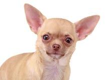 Chihuahua dog Stock Photos