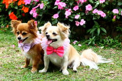 Chihuahua Dog. Two Beautiful Chihuahua in the garden Stock Images