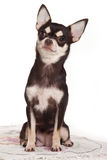 Chihuahua dog Stock Image